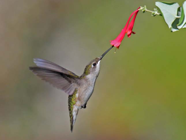 Tüzestorkú kolibri