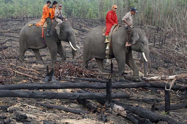 Indonéziai elefántok