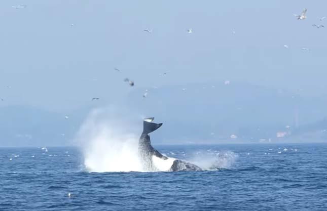 Vadászó gyilkos bálna