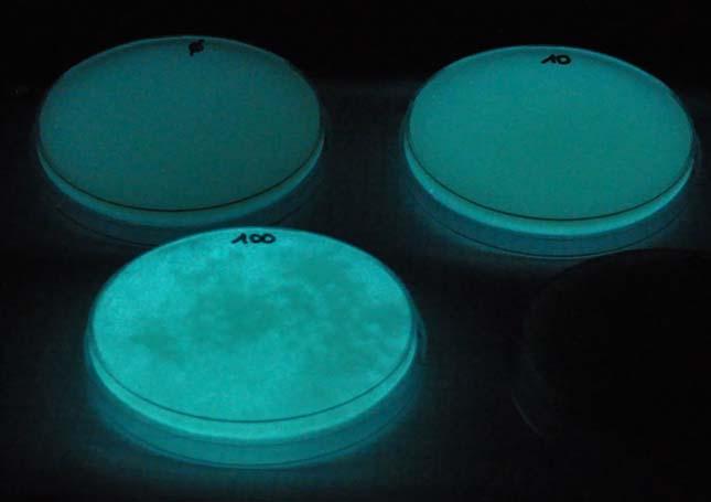 Világító baktérium
