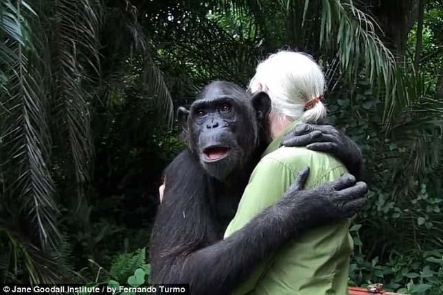 Wounda csimpánz