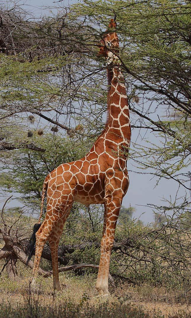 Zsiráf fajok