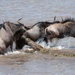 Veszélyes és halálos átkelés a Mara folyón
