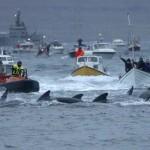 Tömeges bálnavadászat a Feröer-szigeteknél