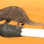 A világ legkisebb kaméleonját találták Madagaszkáron