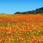 Csodálatos tavaszi virágok a Namaqualand sivatagban