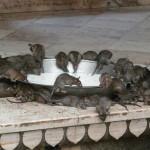 A patkányok temploma Indiában
