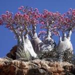 Socotra –  A furcsa növények szigete
