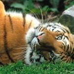 A kihalás szélén áll a szibériai tigris