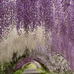 A csodálatos Ashikaga virág park Japánban