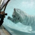 Odin a búvárkodó fehér tigris