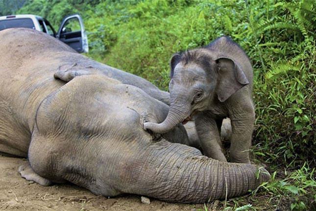 Törpeelefántok pusztultak el Borneón
