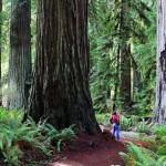 A Redwood Nemzeti Park óriásai