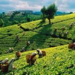 Rekordáron kelt el egy ritka kínai teaféle