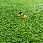 Alga invázió a Sárga-tengeren