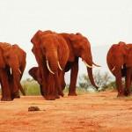 Vörös elefántok a kenyai Tsavo Nemzeti Parkban