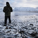 25 ezer tonna hering pusztult el Izlandon