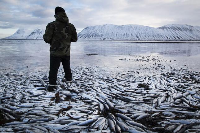 Halpusztulás Izlandon
