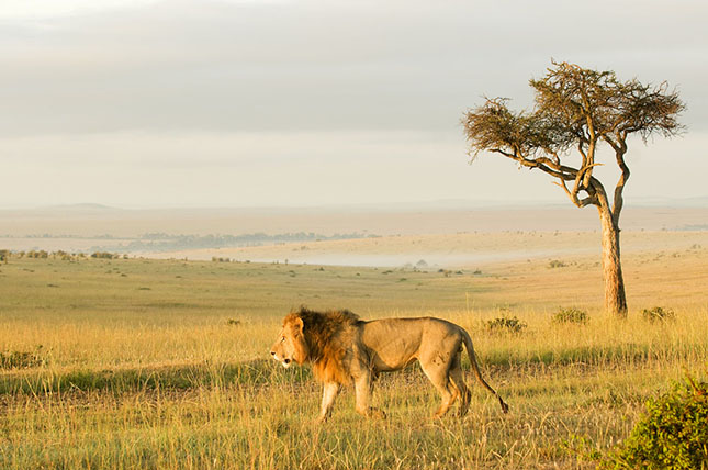 Egyre kevesebb az oroszlán