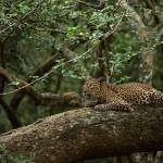 A nap képe – Srí Lanka-i leopárd