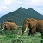 Tíz év alatt eltűnt az afrikai elefántok kétharmada