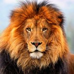Kipusztulás fenyegeti az oroszlánok felét