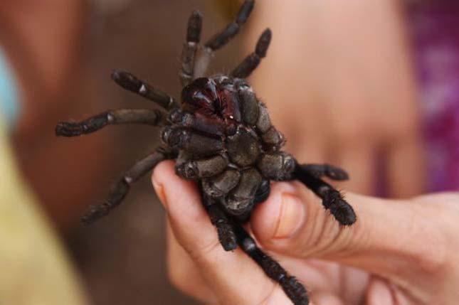 Tarantulla pók