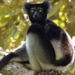 A Madagaszkáron honos Indri