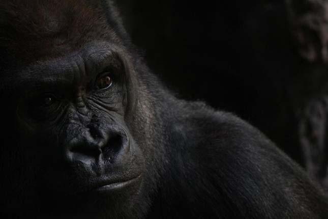 A bronxi állatkert gorillája