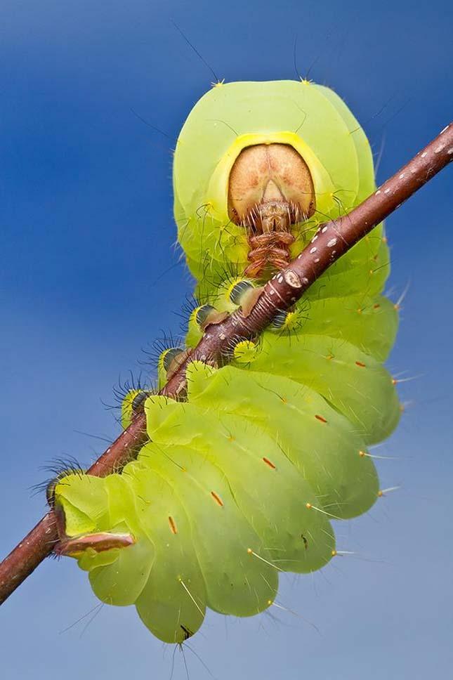 Az Antheraea polyphemus hernyója