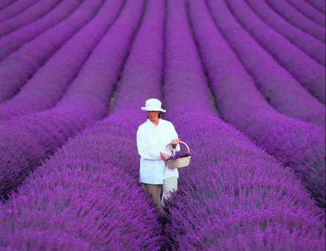 Provence-i levendula mezők, Franciaország