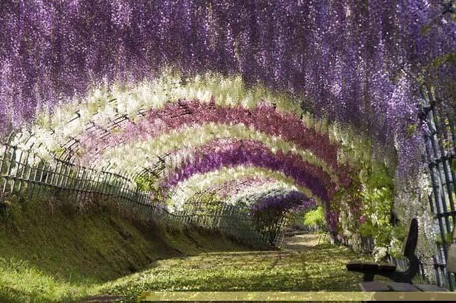 Wisteria Gardens, Japán