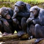 Csimpánzok is képesek csapatmunkára