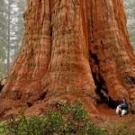 Sherman tábornok fája – a legnagyobb térfogatú fa a világon