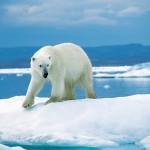 Nincs barnamedve őse a jegesmedvének