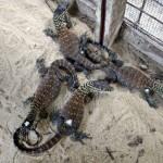 Komodói sárkánybébik születtek fogságban [videó]