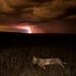 A nap képe – oroszlán a viharban