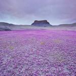 Anza-Borrego Desert State Park – színpompás virágok a sivatagi parkban