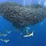 Elképesztő fotósorozat makrélákra vadászó delfinekről