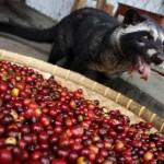 A világ egyik legdrágább kávéja – Kopi Luwak