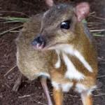 Egy különös állat – a jávai kancsil