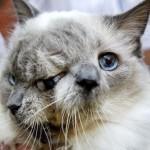 Még a Rekordok Könyvébe is bekerült a kétarcú macska
