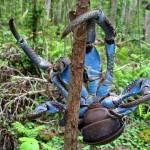 Kókuszrák – a világ legnagyobb szárazföldi ízeltlábúja