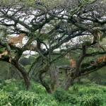 A nap képe – fára mászó oroszlánok