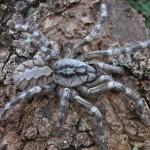 Új óriáspókot fedeztek fel Sri Lankán