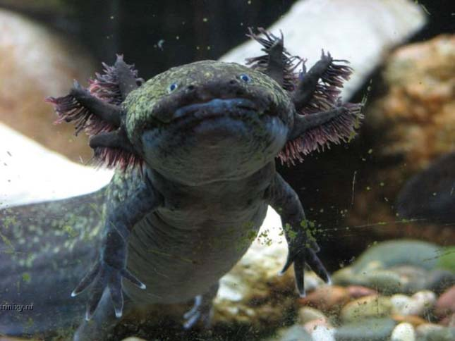 A mexikói axolotl