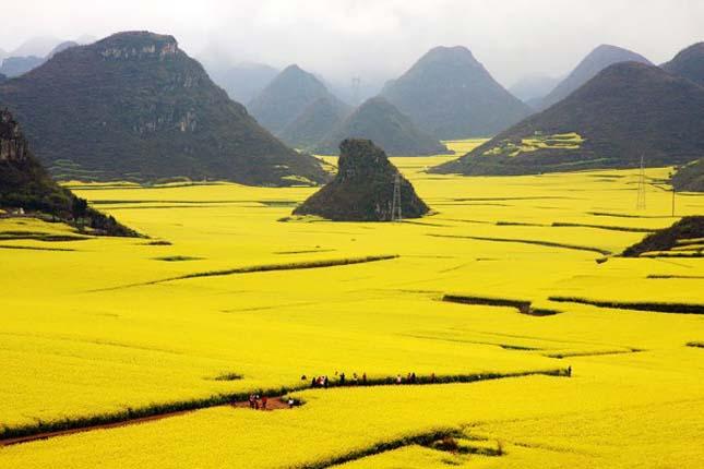 Canola virágföldek, Kína