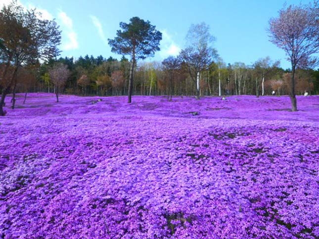 Shibazakura virágok Takinoue Park Japán