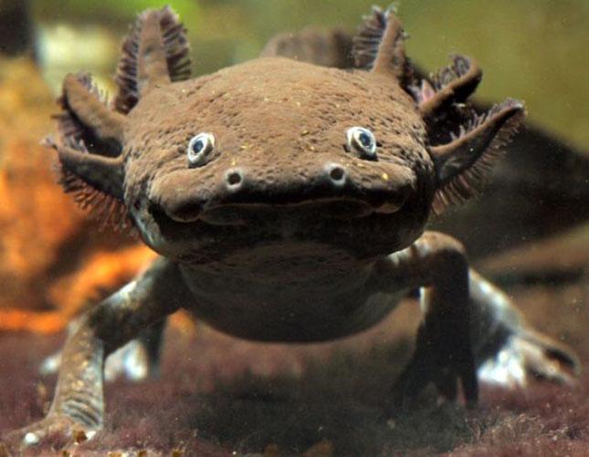 axolotl-2