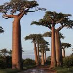 Baobab Avenue – a majomkenyérfák útja